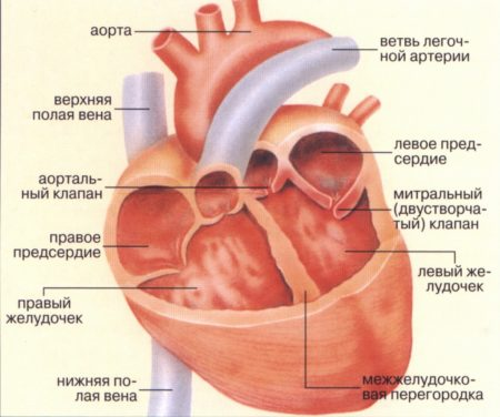 симптомы болезни, профилактика и лечение Перикардитов, причины заболевания и его диагностика на EUROLAB