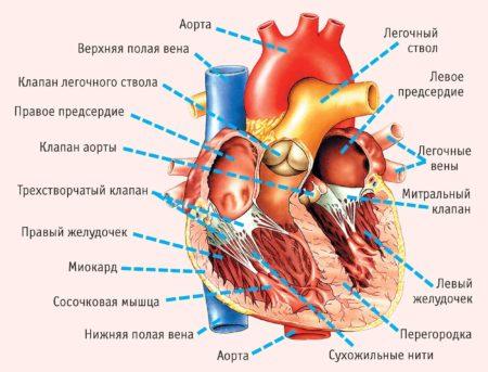 Фибрилляция желудочков: причины стадии и экстренная помощь при клинической смерти