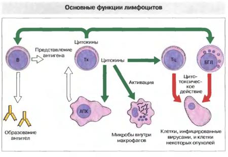 Анализ крови уменьшение нейтрофилов