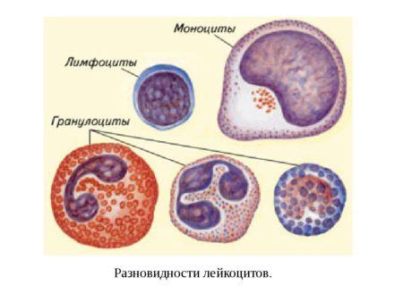 В анализе крови у ребенка повышены моноциты что это значит