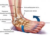 Анатомия сустава голеностопного
