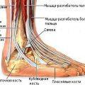 Анатомия сустава